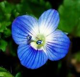 Fiore blu Fotografie Stock