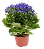 Fiore blu Fotografia Stock Libera da Diritti