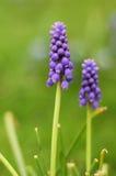 Fiore blu Fotografie Stock Libere da Diritti