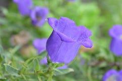 Fiore blu, campana Immagini Stock Libere da Diritti