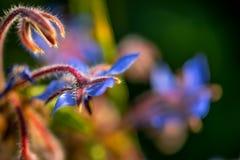 Fiore blu con bokeh fotografia stock libera da diritti