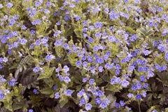 Fiore blu dei wildflowers in primavera Priorità bassa floreale immagini stock libere da diritti