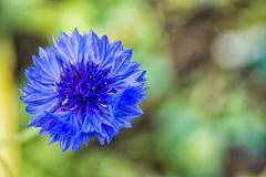 Fiore blu del cereale Immagine Stock