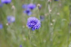 Fiore blu del cereale Fotografia Stock