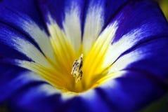 Fiore blu del cielo di Oxypetalatum Fotografia Stock