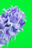 Fiore blu del giacinto Immagine Stock