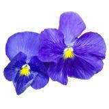 Fiore blu del giardino su un fondo bianco Fotografia Stock Libera da Diritti