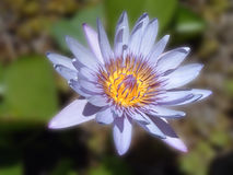 Fiore blu del giglio Fotografie Stock Libere da Diritti