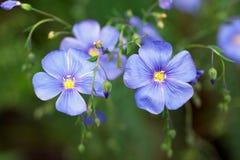 Fiore blu del lino Immagini Stock Libere da Diritti