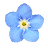 Fiore blu del nontiscordardime isolato su bianco immagini stock