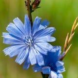 Fiore blu della cicoria Immagini Stock Libere da Diritti