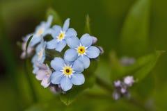 Fiore blu della foresta della sorgente Fotografia Stock Libera da Diritti