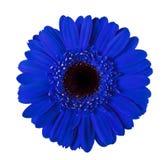 Fiore blu della gerbera isolato immagine stock libera da diritti