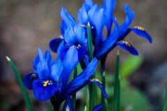Fiore blu della sorgente Fotografia Stock