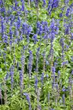 Fiore blu di angustifolia del lavandula Immagini Stock Libere da Diritti