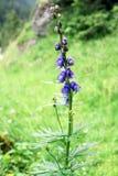 Fiore blu di monshood sul prato in alpi austriache Fotografia Stock