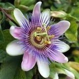Fiore blu di passione - caerulea della passiflora Fotografie Stock Libere da Diritti