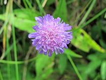 Fiore blu di scabbiosa fotografie stock