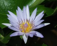 Fiore blu di Waterlily del capo Fotografie Stock Libere da Diritti