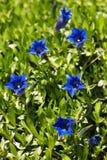Fiore blu genziana della sorgente della tromba in giardino Immagini Stock
