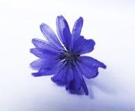 Fiore blu isolato Fotografia Stock