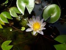 Fiore blu naturale di Manel della Sri Lanka fotografia stock
