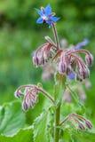 Fiore blu raro di officinalis della borragine Immagini Stock Libere da Diritti
