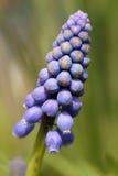 Fiore blu sbocciante Fotografia Stock Libera da Diritti