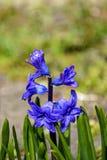 Fiore blu Scilla della molla Priorit? bassa vaga immagini stock