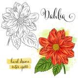 Fiore botanico della dalia dell'acquerello di arte illustrazione di stock