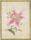 Fiore botanico Tiger Lily su pergamena Fotografia Stock