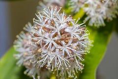 Fiore Bud In Full Bloom, macro della pianta di cereale immagine stock libera da diritti