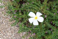 Fiore caduto del frangipane sul cespuglio Fotografia Stock