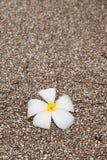Fiore caduto del frangipane sulla terra del ciottolo Fotografia Stock Libera da Diritti