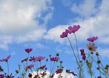 Fiore, campo, rosso, papavero, natura, molla, cielo, tulipano, estate, verde, fiore, fiori, blu, pianta, bella, bellezza, giardin fotografia stock