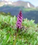 Fiore capo dell'elefante lungo Ute Trail in Rocky Mountain National Park Immagini Stock