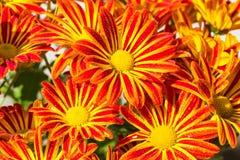 Fiore-capo luminoso della natura variopinta e bella del fiore Fotografie Stock Libere da Diritti
