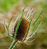 Fiore - cardo selvatico - chardon Immagini Stock