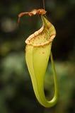 Fiore carnivoro Fotografia Stock Libera da Diritti