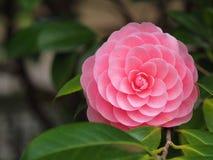Fiore Ccamellia Japonica di Tsubaki o di Otometsubaki fotografia stock