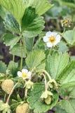 Fiore che fiorisce, agricoltura crescente della fragola della pianta Fotografia Stock