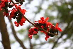 Fiore che fiorisce, fromager rossa del cotone del primo piano di Shimul del baccello dei fiori in Munshgonj, Dacca, Bangladesh Immagine Stock Libera da Diritti