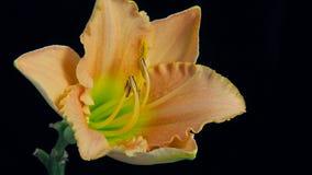 Fiore che fiorisce Timelapse 4k stock footage