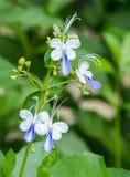 Fiore che sboccia davanti al fondo verde della foglia Fotografia Stock