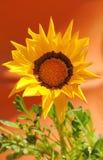 Fiore chiaro del gerbera Immagine Stock