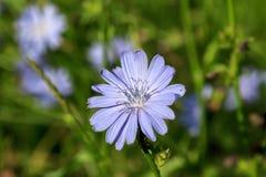 Fiore, cicoria Fotografie Stock