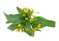 Fiore cinese degli spinaci Fotografia Stock