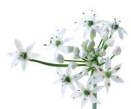 Fiore cinese della erba cipollina Fotografie Stock