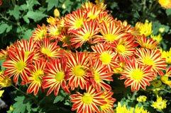 Fiore Colourful Fotografia Stock