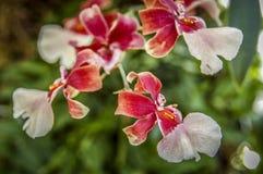 Fiore Colourful del Cymbidium immagini stock